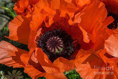 Red Poppies Open Poster by Iris Richardson