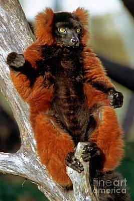 Red-ruffed Lemur Poster by Millard H. Sharp