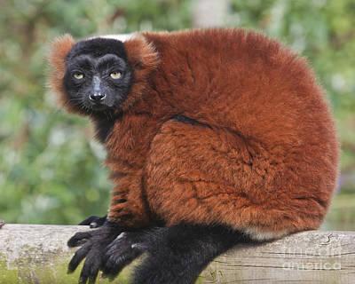 Red Ruffed Lemur Varecia Rubra Poster by Terri Waters