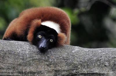 Red Ruffed Lemur Poster by Winston D Munnings