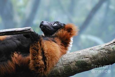 Red Ruffled Lemur Poster by DejaVu Designs