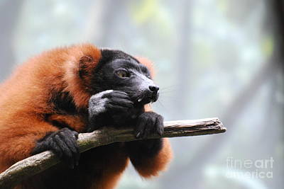 Red Ruffled Lemur With Sharp Fangs Poster by DejaVu Designs
