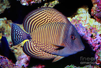 Red Sea Sailfin Tang Poster by Wernher Krutein