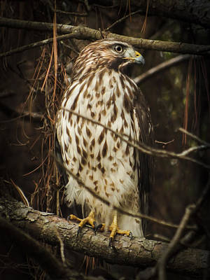 Red Shouldered Hawk Poster by Karen Wiles