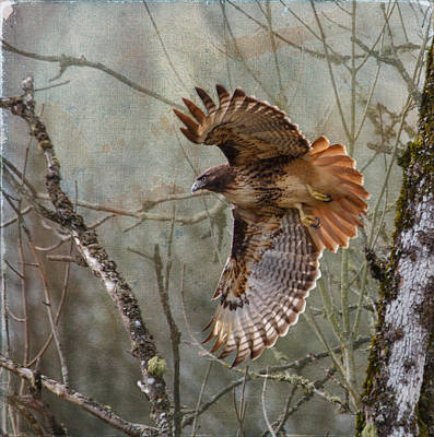 Red-tail Hawk In Flight Poster by Angie Vogel
