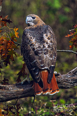 Red Tailed Hawk Poster by Todd Bielby