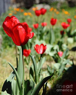 Red Tulips 5d22406 Poster by Wingsdomain Art and Photography