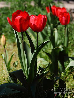Red Tulips 5d22410 Poster by Wingsdomain Art and Photography