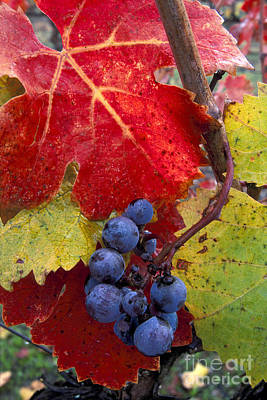Red Wine Grapes And Leaves In Fall  Poster by Gary Crabbe