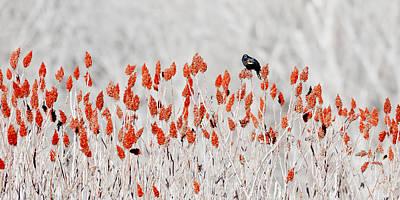 Red-winged Blackbird Poster by Steven Ralser