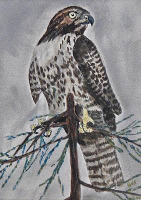 Redtail Hawk In A Cypress Poster by Richard Goohs