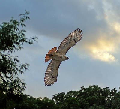 Redtail Hawk In Flight Poster by Mary Dreher