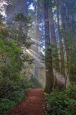 Redwood Grove Trail 2013 Poster by Ralph Nordstrom