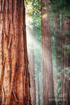 Redwoods In Yosemite Poster by Jane Rix