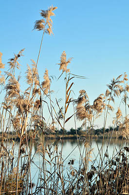 Reed Grasses By A Lagoon  Poster by Tetyana Kokhanets