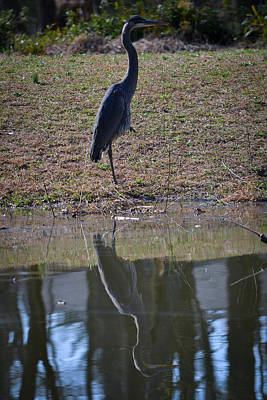 Reflected Heron Poster by Mary Zeman