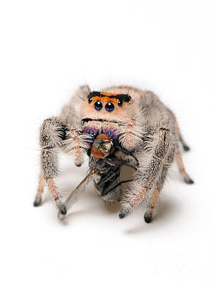 Regal Jumping Spider With Prey Poster by Scott Linstead
