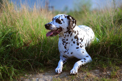 Rest In The Grass. Kokkie. Dalmatian Dog Poster by Jenny Rainbow
