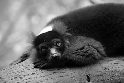 Resting Lemur Poster by Karol Livote