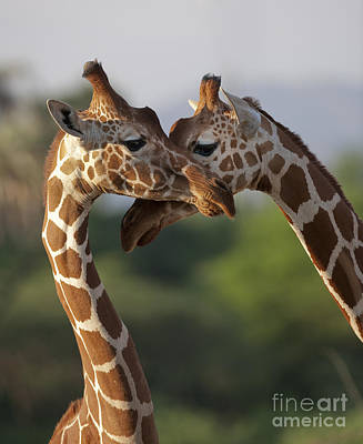 Reticulated Giraffe Poster by John Shaw