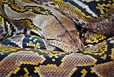Reticulated Python Poster by Patrick M Lynch