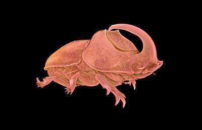 Rhinoceros Beetle Poster by Dan Sykes/natural History Museum, London