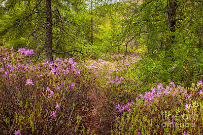 Rhodora Bloom In Acadia Poster by Susan Cole Kelly