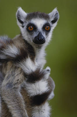 Ring-tailed Lemur Portrait  Berenty Poster by Pete Oxford