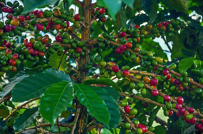 Ripening Coffee Berries Poster by Jess Kraft