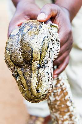 Rock Python Recovered From Poachers Poster by Peter Chadwick