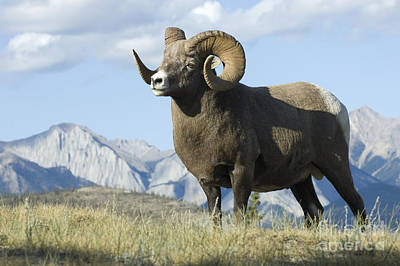 Rocky Mountain Big Horn Sheep Poster by Bob Christopher