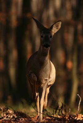 Roe Deer Female Poster by Dragomir Felix-bogdan