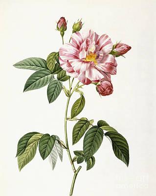 Rosa Gallica Versicolor Poster by Pierre Joseph Redoute