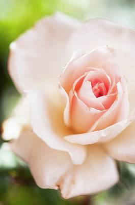 Rosa 'johann Strauss' Flower Poster by Maria Mosolova