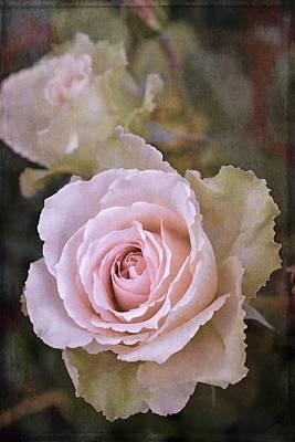 Rose 311 Poster by Pamela Cooper