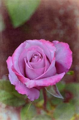 Rose 315 Poster by Pamela Cooper