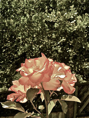 Rose 55 Poster by Pamela Cooper
