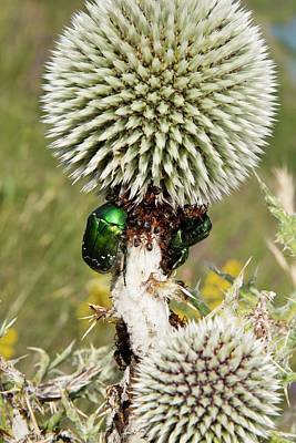 Rose Chafers And Ants On Thistle Flowers Poster by Bob Gibbons