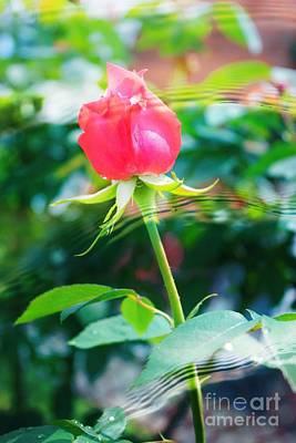 Rose  Water Ripples Poster by Judy Palkimas
