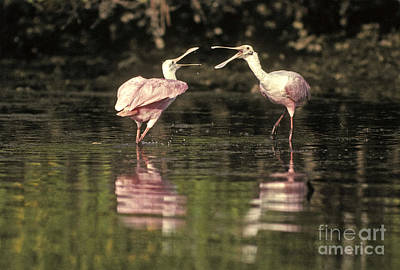 Roseate Spoonbill Poster by Ron Sanford