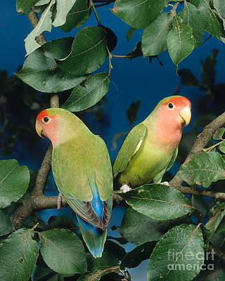Peach-faced Lovebird Poster featuring the photograph Rosyfaced Lovebirds by Hans Reinhard