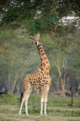 Rothschild Giraffe Giraffa Poster by Panoramic Images