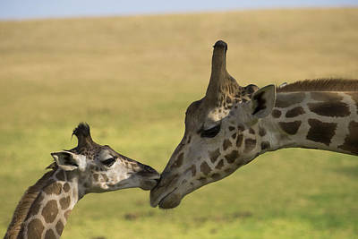 Rothschild Giraffe Male Calf Nuzzling Poster by San Diego Zoo