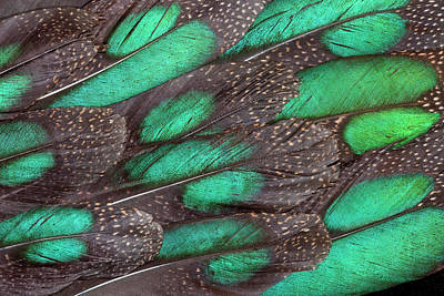 Rothschild Peacock Pheasant Tail Poster by Darrell Gulin