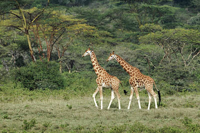 Rothschild's Giraffe, Lake Nakuru Poster by Adam Jones