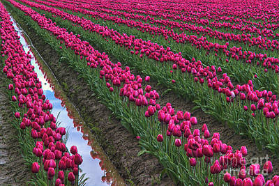 Rows Of Kung Fu Tulips Poster by Mark Kiver