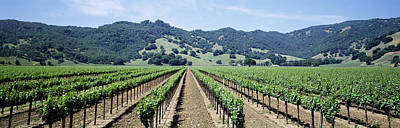 Rows Of Vine In A Vineyard, Hopland Poster by Panoramic Images
