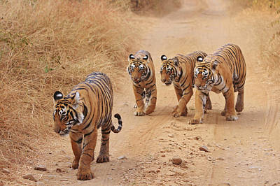 Royal Bengal Tigers On The Track Poster by Jagdeep Rajput