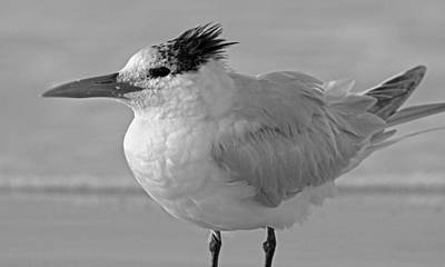 Royal Tern On Siesta Key Poster by Betsy Knapp