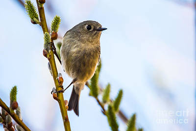 Ruby Crowned Kinglet Poster by Janis Knight